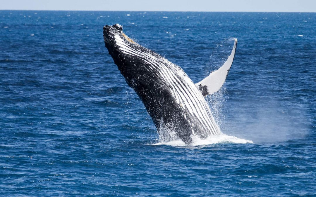 Are there Whales out near Lady Musgrave Island – Yes