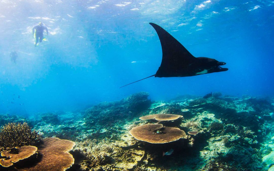Meet the Majestic Manta Ray's at Lady Musgrave Island