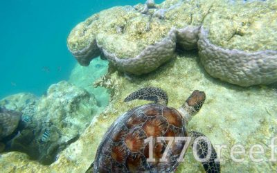 Turtley Tuesday Lady Musgrave Island Lagoon
